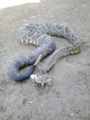 Cobra encontrada há um mês no Núcleo Rural do Riacho Fundo. Foto: Cosme Pereira/Acervo pessoal
