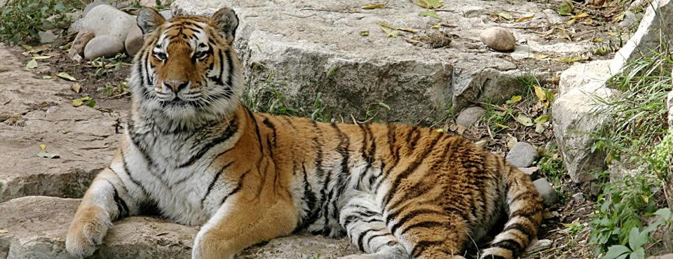 You are currently viewing Zoo cria passarela para leões e tigres interagirem com o público, nos EUA