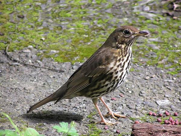 Exemplar de tordo, ave que participou do experimento. Foto:Tony Wills/Wikimedia Commons
