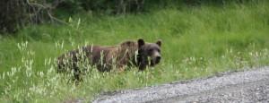Read more about the article Urso mata funcionária de empresa de petróleo no Canadá