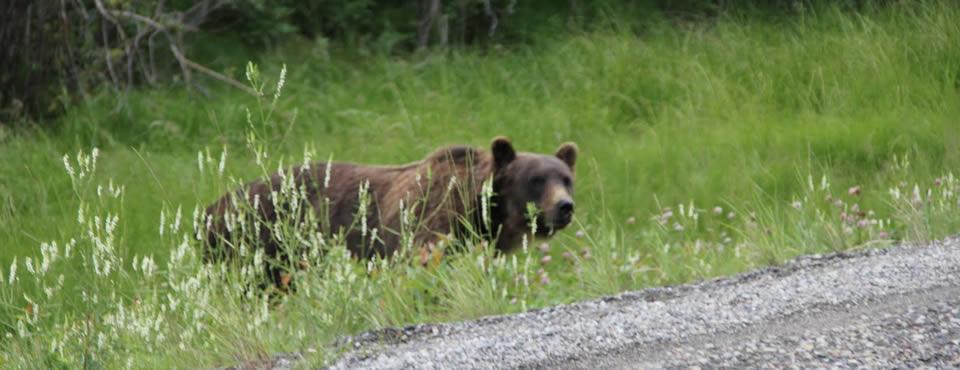 You are currently viewing Urso mata funcionária de empresa de petróleo no Canadá
