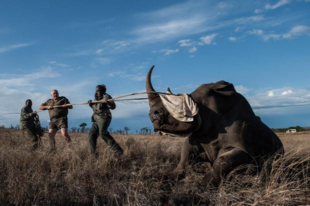 Animal é puxado após ter o rosto coberto para reduzir o estresse durante operação de realocação no Parque Nacional de Kruger, na África do Sul. Foto: Stefan Heunis/AFP
