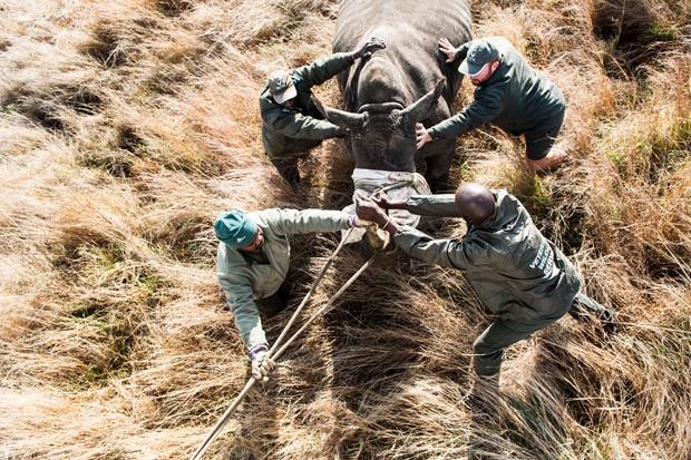 Após capturado, rinoceronte é conduzido para dentro de um contêiner. Foto: Stefan Heunis/AFP
