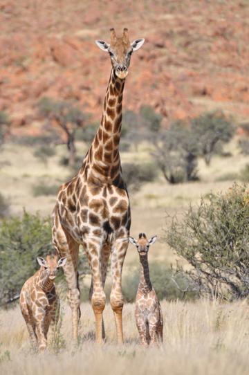 """Surpreendentemente pouco estudadas, as girafas são a """"megafauna esquecida'', segundo Julian Fennessy,  diretor-executivo da Fundação de Conservação da Girafa. Foto: Julian Fennessy"""