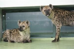 Foto: Divulgação/Sapporo Maruyama Zoo