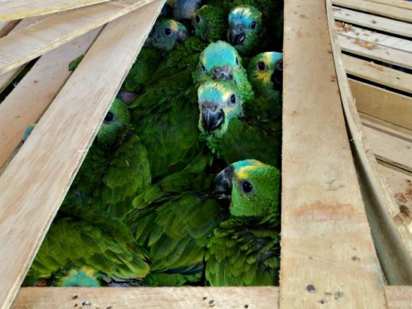 Filhotes de papagaios estavam em caixas de madeira, em MS. Foto: PMA/ Divulgação