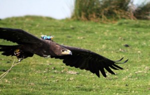 """Cossak, um exemplar de águia-das-estepes usa uma espécie de """"caixa-preta"""" nas costas para registrar informações sobre o voo, que ajudaram no experimento. Foto: Graham Taylor/Oxford University/AFP"""