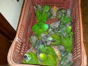 Aves estavam em fundo falso de carro. Foto: Reprodução / TV TEM