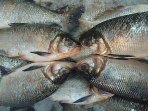 Feira e seminário de peixes de água doce será realizado em Cuiabá (MT). Foto: Divulgação/SFPA/RR