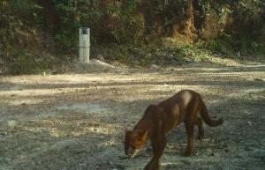 Câmera flagra gato mourisco na reserva em Cavalcante. Foto: ivulgação/Fundação Grupo Boticário