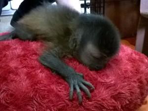 Macaco com cerca de 10 dias de vida foi resgatado em Coari. Foto: Divulgação/Ipaam