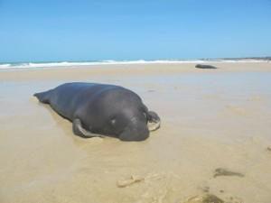 Filhotes estavam encalhados na praia de Pontal do Maceió, no litoral leste do Ceará. Foto: Aquasis/Divulgação