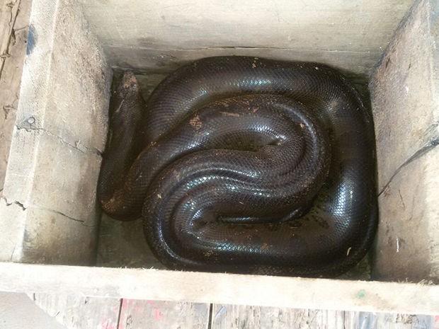 Cobra foi encontrada na região central de Sinop. Foto: Paulluan Lopes/Corpo de Bombeiros