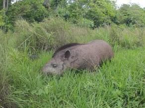 Anta morta por atropelamento em rodovia de Bonito (MS). Foto: Marcio Lima