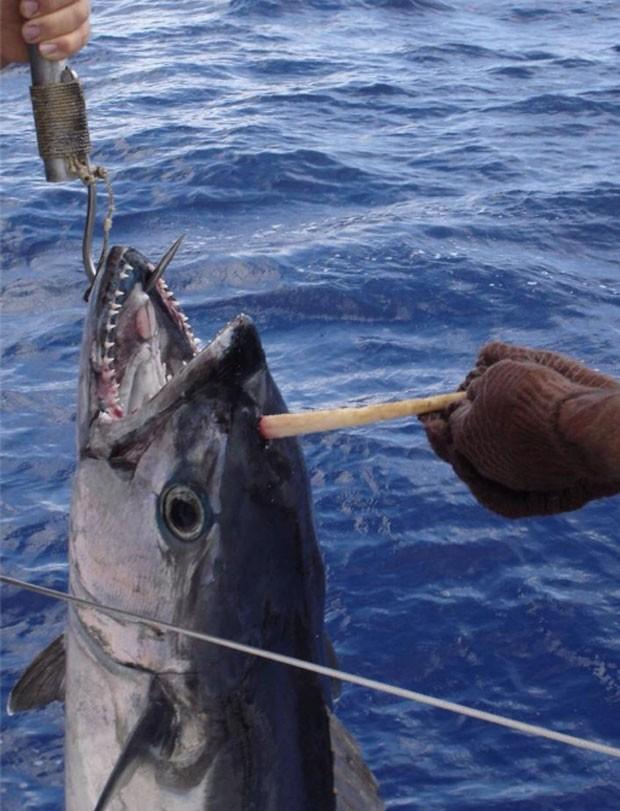 Trio fisgou atum com 'chifre' em pescaria na Austrália. Foto: Reprodução/Facebook/ABC Tales from the Tinny