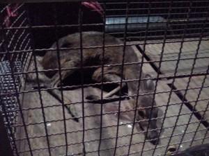 Após o resgate, animal foi levado para o zoo de Sorocaba. Foto: Maria José Ramos Mathias/TEM Você