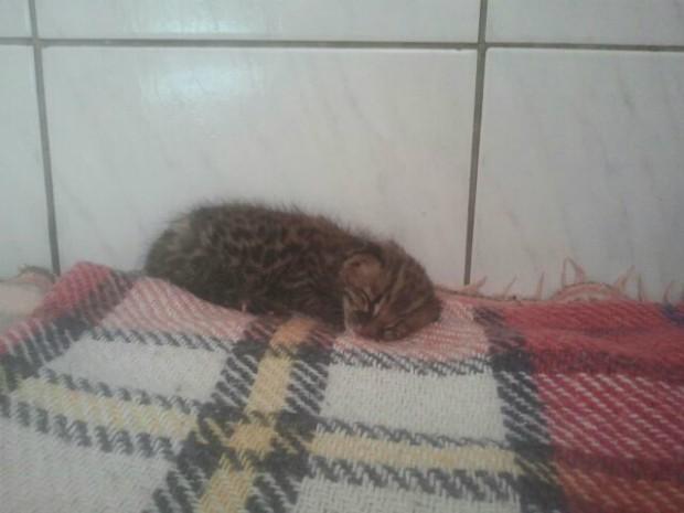Filhote foi encontrado em cafezal em Tejupá. Foto: Adolfo Lima / TV TEM
