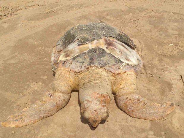 Somente em outubro foram encontradas dez tartarugas mortas na costa sergipana. Foto: Allana Marques/VC na TV Sergipe