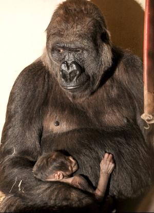 Gorila Imbi e seu filhote, no Zoológico de BH. Foto: Herlandes Tinoco / Prefeitura de Belo Horizonte