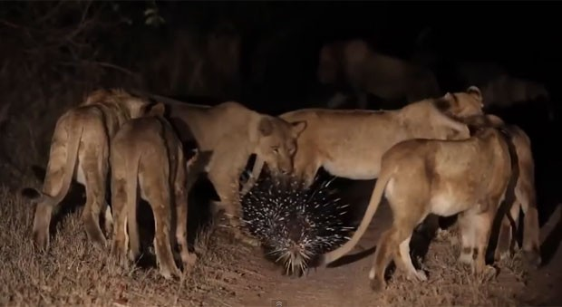 Na imagem, é possível ver o porco-espinho enfrentando o grupo de leões.  Vídeo foi gravado em reserva da África do Sul. Foto: Reprodução/YouTube/Londolozi Game Reserve