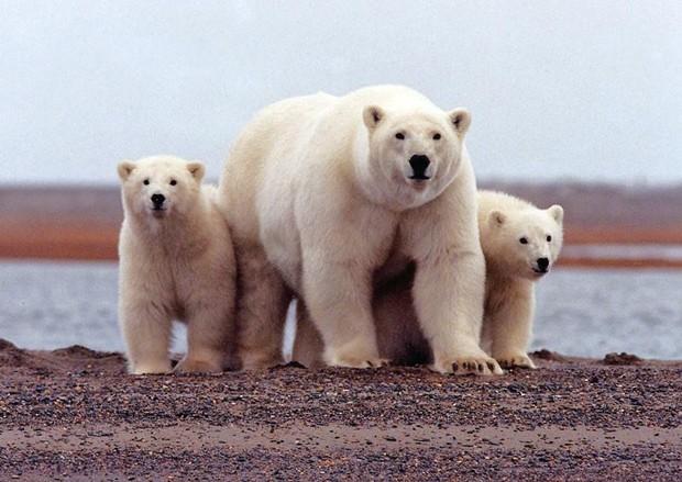 Foto de arquivo de urso polar no Alasca. 6 de marco de 2007. Foto: Reuters/Susanne Miller/USFWS/Divulgação