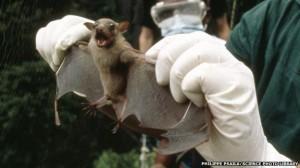 Morcego capturado para ser testado para Ebola. Foto: Philippe Psatla - Science Photo Library