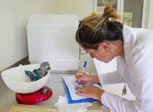 Integrante da equipe de veterinários que cuida das novas aves pesa exemplar nascido no fim de outubro. Foto: Divulgação/ICMBio