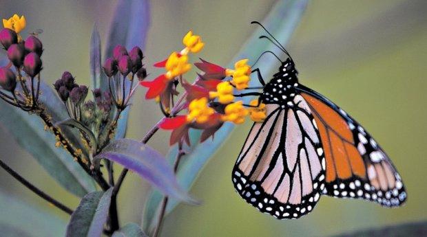 Tentando ajudar borboletas-monarcas, conservadionistas amadores plantraram espécies que podem ter causado mais problemas. Foto: Stephan Morton para The New York Times
