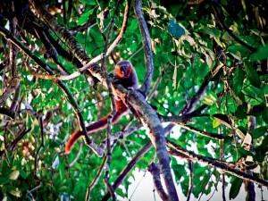 Macaco da espécie 'zogue-zogue' foi encontrado em unidades de conservação, segundo pesquisado. Foto: Divulgação/Julio César Dalponte
