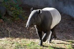 Anta malaia, ou Tapirus indicus, é a única espécie que restou na Ásia. (Foto: Reprodução / Flickr / Sara E)