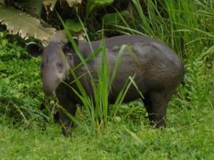 Anta da espécie Tapirus bairdii é vista no Parque Nacional de Corcovado, na Costa Rica. Foto: Reprodução / Flickr / Miguel Vieira