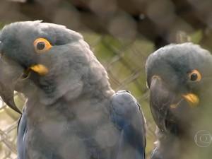 Exemplar adulto da Arara-Azul-de-Lear. Foto: Reprodução/TV Globo