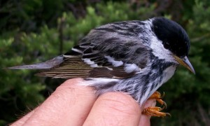 Exemplar de mariquita-de-perna-clara, espécie que consegue fazer