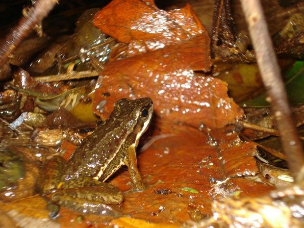 Serra do Japi tem mais de 30 espécies de anfíbios. Foto: Arquivo pessoal/ Fábio Perin de Sá