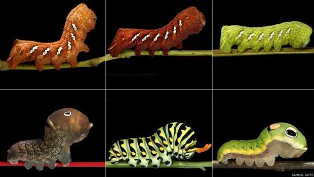 Nas fotos da fileira de cima, ele registrou três variedades da Eumorpha achemon.  Nas de baixo, outras três variedades, Papilio glaucus, polyxenes e troilus. Foto: Samuel Jaffe/Divulgação