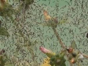 Larvas infestam cidade de Prado, na Bahia. Foto: Reprodução/TV Santa Cruz