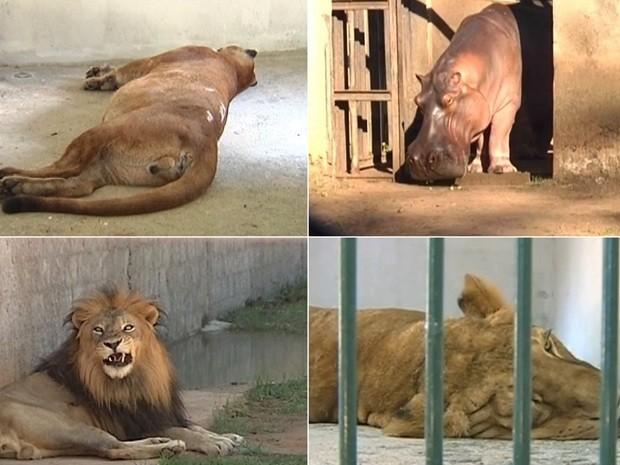 Leoa, onça parda, leão e hipopótamo são alguns dos animais que morreram. Foto: Reprodução / TV TEM