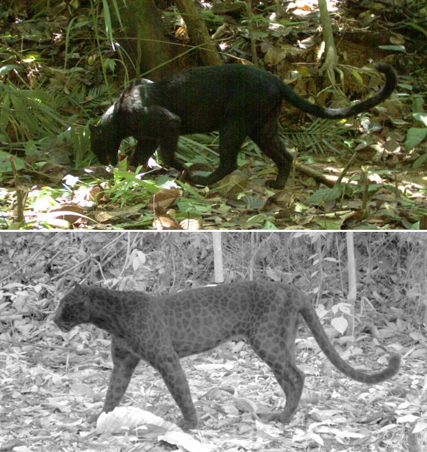 Uso de 'modo noturno' da câmera revelou manchas na pelagem de pantera-negra da Península Malaia. Foto: Rimba Research Malaysia/Divulgação