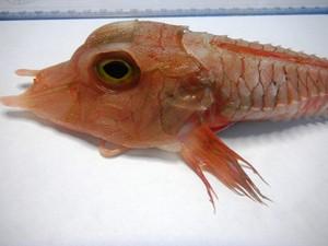 Peixe de águas profundadas foi capturado acidentalmente em Ubatuba. Foto: Divulgação/Aquário de Ubatuba