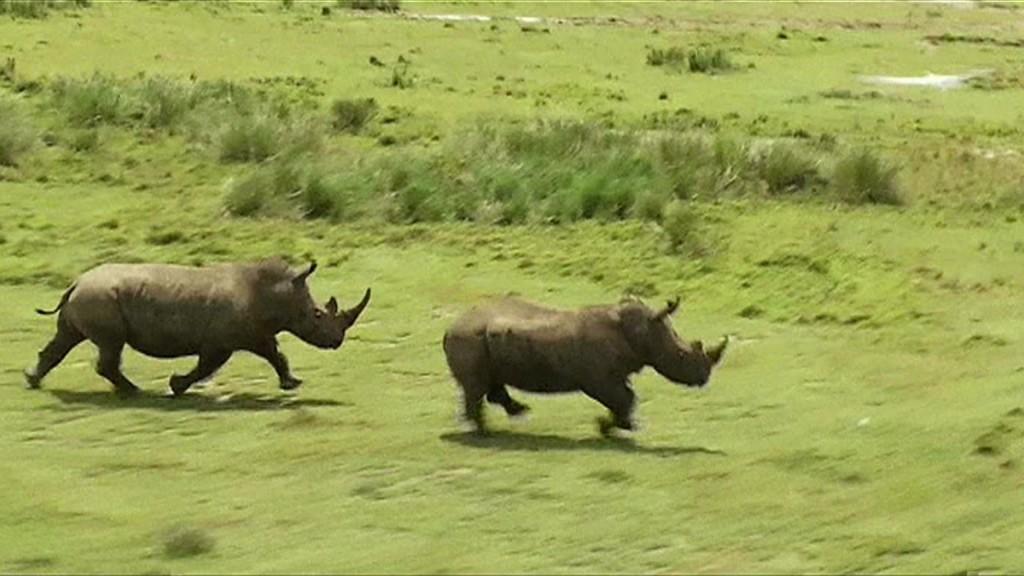 Com o novo sistema, quando o coração do rinoceronte parar um sinal é enviado a equipes de vigilância, que surgem no local do abate com um helicóptero. Foto: Reprodução/BBC