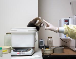 Um filhote de panda vermelho está sendo pesado no Instituto Smithsonian Conservation Biology em Front Royal, Va. Foto: Drew Angerer para The New York Times