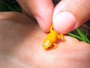 Sapo tem um pouco mais de 1 centímetro de comprimento. Foto: Luiz Fernando Ribeiro/Fundação Grupo Boticário