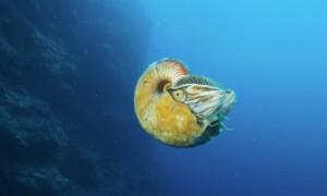 Pesquisador redescobre criatura marinha que não era vista havia mais de 30 anos. Foto: Reprodução/Facebook/University of Washington