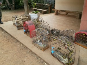 Entre as espécies apreendidas, a maioria é de pintassilgos. Foto: Divulgação/Polícia Ambiental