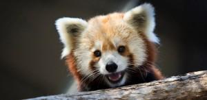 Rusty, um panda vermelho que escapou de um zoológico de Washington e hoje está no Instituto Smithsoniano de Biologia da Conservação. Foto: Drew Angerer para The New York Times