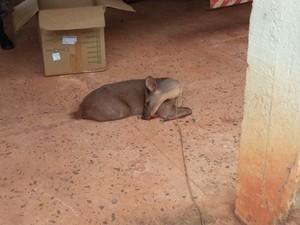 Animal foi resgatado após ser atropelado. Foto: Divulgação / Polícia Ambiental