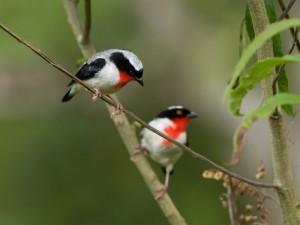 Saíra apunhalada tem esse nome por causa de suas manchas vermelhas. Foto: Gustavo Magnago/Setur-ES
