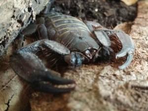 Escorpião foi encontrado em encomenda que iria para Sinop (MT). Foto: Coordenação de Fauna/Sema-MT