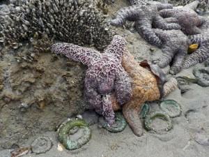 Estrelas do mar são vistas na praia Kalaloch, Parque Olímpico Nacional, no estado de Washington, EUA. Foto: Magan Crane/AFP
