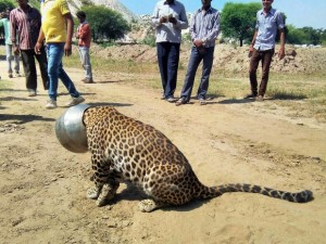 Moradores do Rajastão observam o leopardo que ficou preso ao pote de metal. Foto: Kabir Jethi/AP